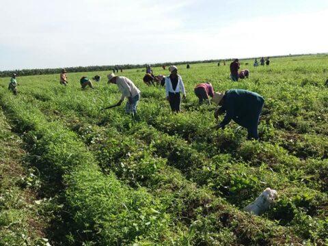 Agricultura con técnica y productividad en Santiago de Cuba.